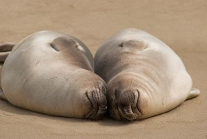USA: California: Marin County: Point Reyes National Seashore: Elephant Seal pups rest together along the beaches of Drakes Bay (near Chimney Rock)